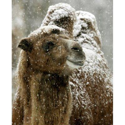 cammello-coperto-di-neve-dubai-al-jees