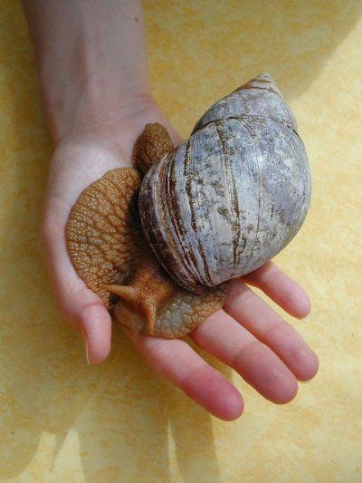 chiocciola-gigante-lumaca-foto-achatina-mano