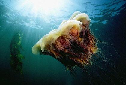 criniera-di-leone-medusa-gigante