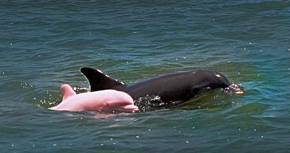 delfino-rosa-louisiana-cucciolo-albino
