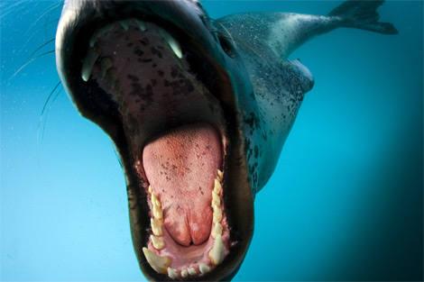 foca-leopardo-attacco