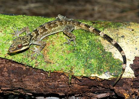 geko-foresta-pluviale-papua-nuova-guinea-nuova-specie-