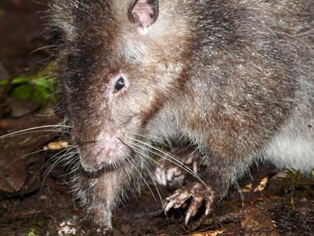 giant-rat-topo-gigante-nuova-guinea