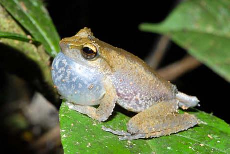 litoria-nuova-specie-foresta-pluviale-papua-nuova-guinea