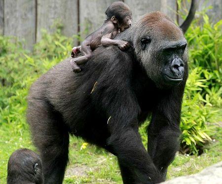 mamma-gorilla-figlio-a-spasso