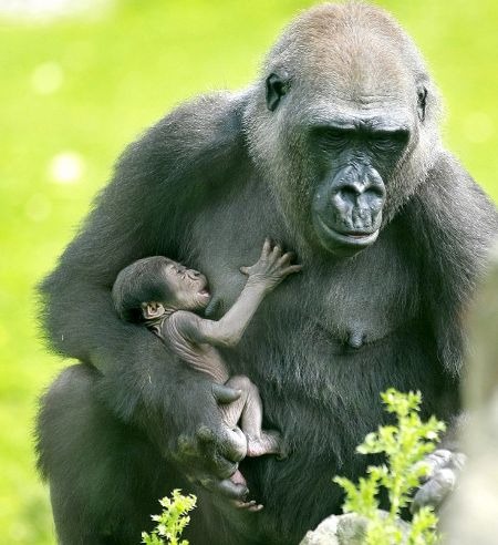 mamma-gorilla-figlio