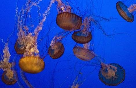 meduse-monterey-bay-acquarium-california