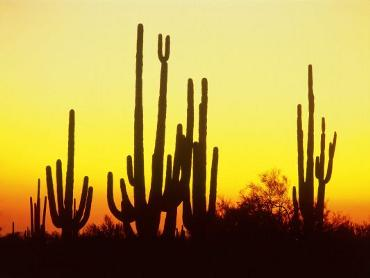 normal_Saguaro-Cactus-Arizona-antifurto