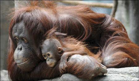orango-Sofia-col-suo-cucciolo-star-del-Brookfield-Zoo