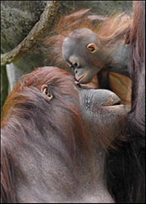 orango-Sofia-cucciolo-Brookfield-Zoo