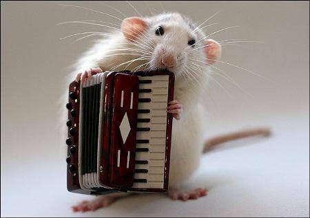 orchestra-topi-rat-05
