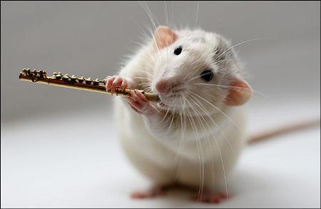 orchestra-topi-rat-06