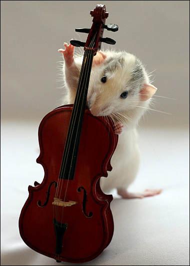 orchestra-topi-rat-07