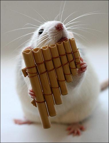 orchestra-topi-rat-08