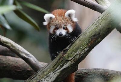 panda-rosso-australia