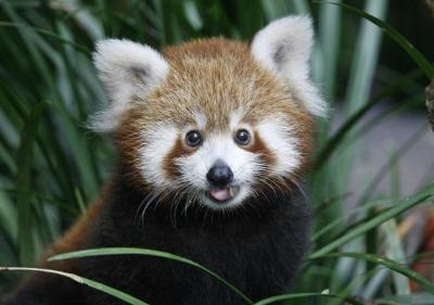 panda-rosso-zoo-sydney