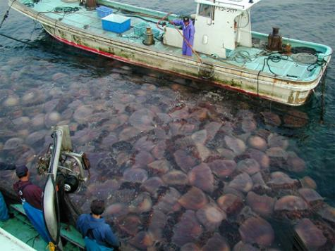 pescatori-giapponesi-banco-meduse