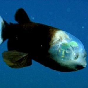 pesce-trasparente-Monterey-Bay-Aquarium