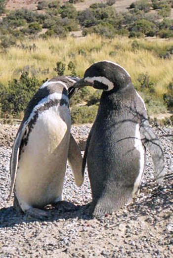 pinguini-alla-riscossa