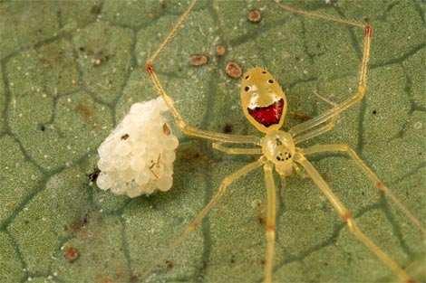 ragno-guardia-uova-faccia-sorride