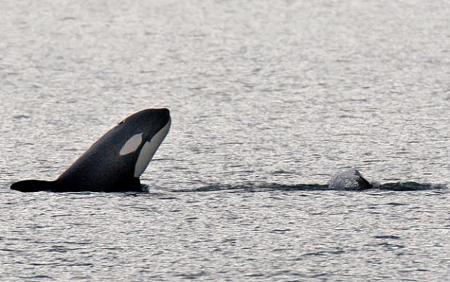 razza-orca-foto-salto-australia