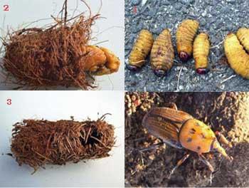 Abruzzo-punteruolo-rosso-palma-larva-bozzolo-insetto.jpg