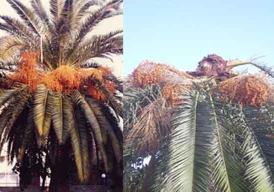 Abruzzo-punteruolo-rosso-palma-sana-infestata-casa-privata-silvi-marina-parassita
