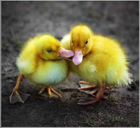 love-picture-ducks-paperi-amore.jpg