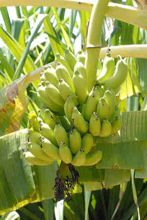 banane-CBS-dimagrire-Giappone-Morning-banana-Time