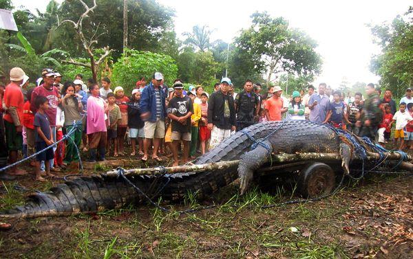 coccodrillo-piu-lungo-del-mondo-record-01