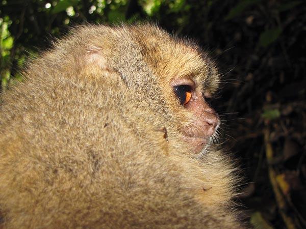 nuove-specie-scimmie-animali-perù-scoperta