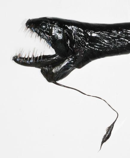 dragonessa-marina-nuove-specie-animali-nuova-zelanda-02