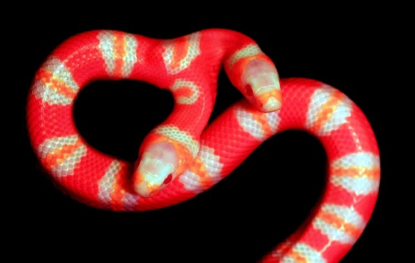 serpente-a-due-teste-foto