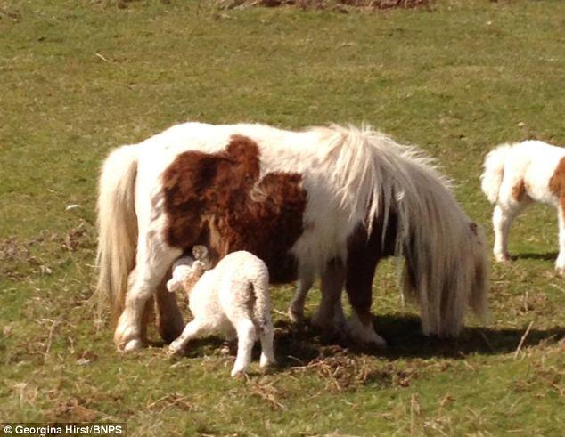 agnellino, pony 3