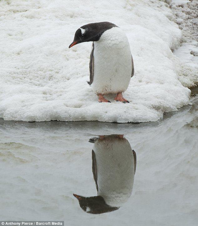 pinguino 1