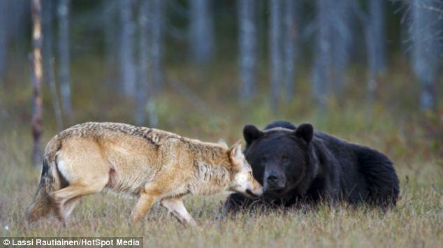 lupo, orso