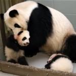 panda-01