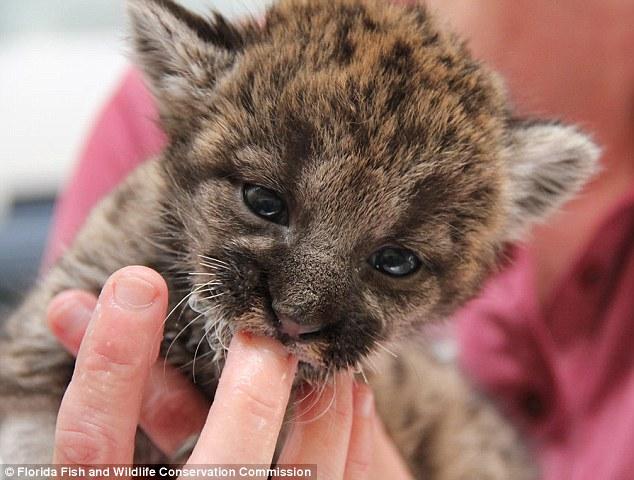 baby pantera