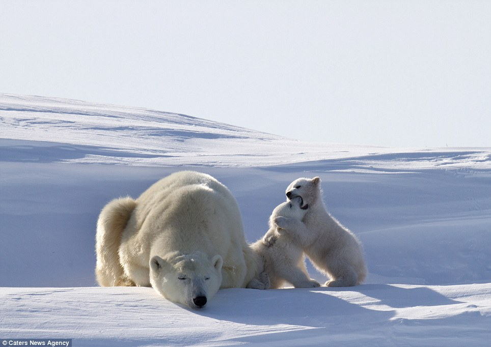 orso polare, cuccioli